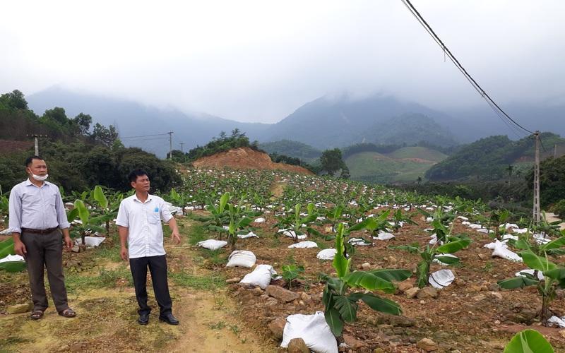 Thái Nguyên: Trồng giống chuối gì mà nông dân nơi đây lãi ròng chỉ sau 2 năm?