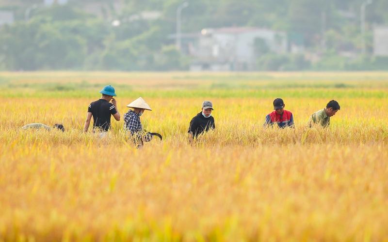 Nghệ An: Lúa vừa được mùa vừa được giá nông dân rất phấn khởi, bám đồng