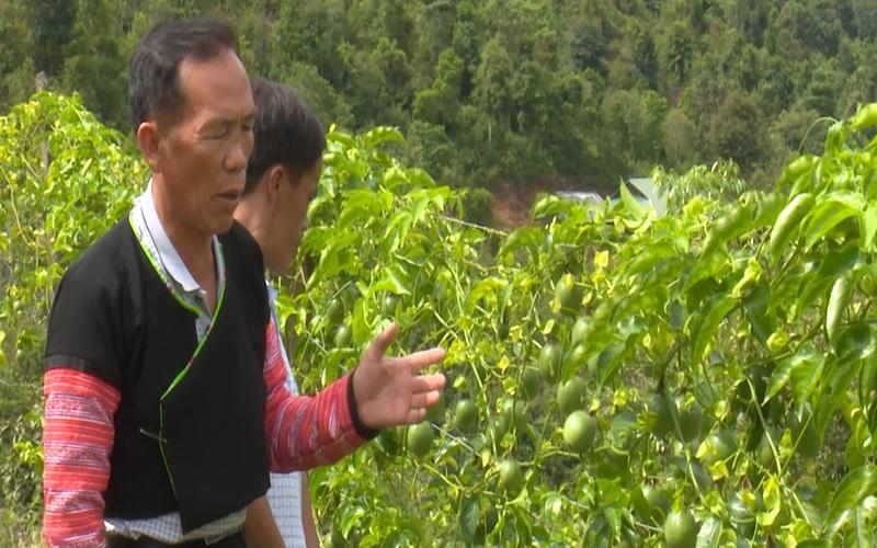 Người thay đổi vùng cây thuốc phiện (Kỳ 2): Sắc xanh trên Pha Luông