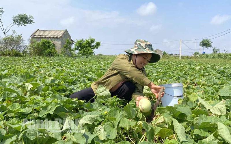 Ninh Bình: Vùng đất mặn nông dân trồng thứ cây bò lung tung trên mặt ruộng ra thứ trái ngọt dễ ăn, dễ bán