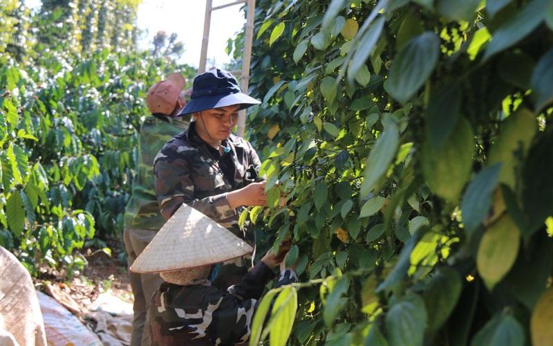 """Đắk Nông: Từng là cây """"bể nợ"""", vì sao ngay bây giờ nông dân lại ồ ạt trồng hồ tiêu?"""