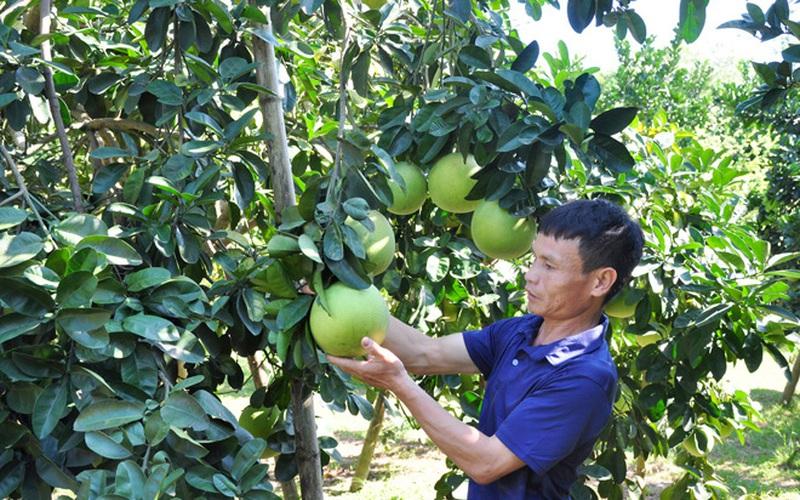 Nguồn vốn vay này giúp nhà nông Tuyên Quang trồng bưởi ngon tăng thu nhập
