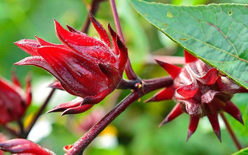 Đồng Tháp: Trồng cây bụp giấm ở vùng biên giới Hồng Ngự, nông dân có nguồn thu nhập ổn định