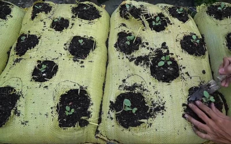 Tận dụng bao tải dứa để trồng cải ngồng, tác dụng không ngờ