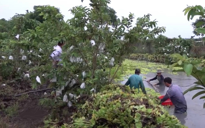 Cần Thơ: Mô hình trồng trái cây làm thức ăn nuôi ốc bươu đen thương phẩm cho hiệu quả kinh tế cao