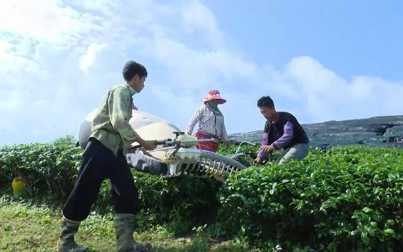 Sơn La: Chiềng Đi xây dựng thương hiệu chè sạch theo hướng hữu cơ, mang nguồn thu nhập ổn định cho bà con