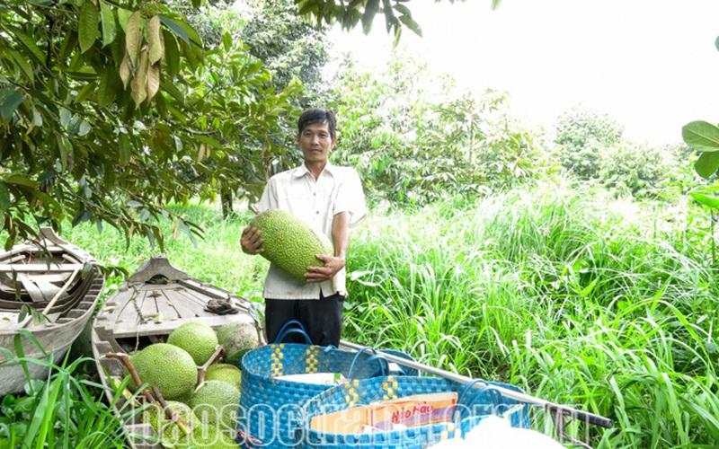 Sóc Trăng: Trồng mít Thái siêu sớm, gặp lúc giá mít rẻ chưa từng thấy, nông dân lỗ nặng