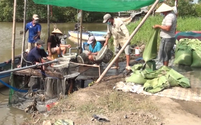 Cà Mau: Người dân kiếm tiền triệu mỗi ngày từ nghề cào vẹm đất