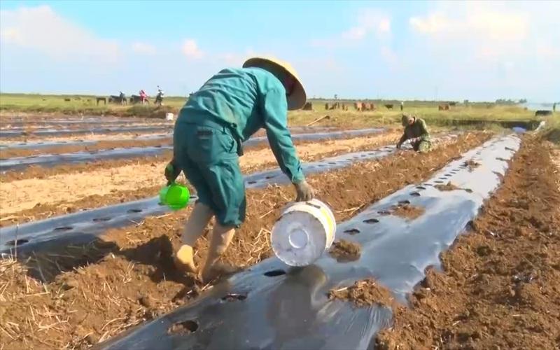 Quảng Trị: Triển khai mô hình trồng dưa hấu phủ bạt trên đất lúa năng suất thấp