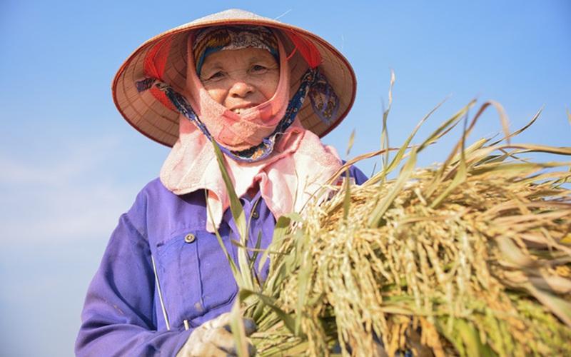 """Ngày ông trời """"đổ lửa"""", nắng như thiêu như đốt, nông dân Thủ đô vẫn ra đồng thu hoạch lúa"""