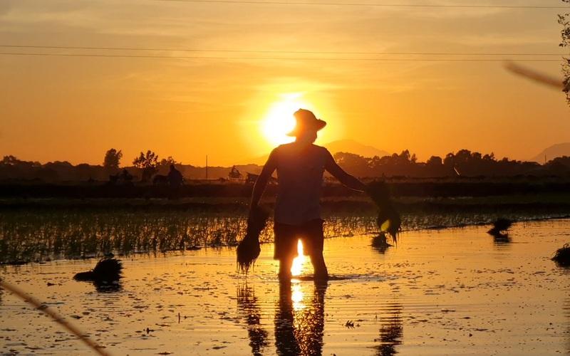 """Vụ hè thu, nông dân Hà Nội thắp đèn """"đi cấy sáng trăng"""""""