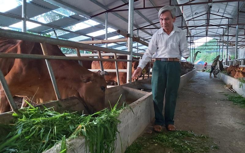 Lào Cai: Thiên hạ đua nhau nuôi bò lai, bò ngoại, vì sao nông dân ở đây nhất nhất nuôi cả trăm con bò ta?