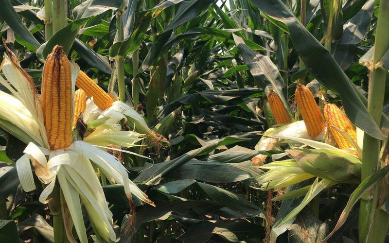 SSC - Thương hiệu hạt giống của nhà nông