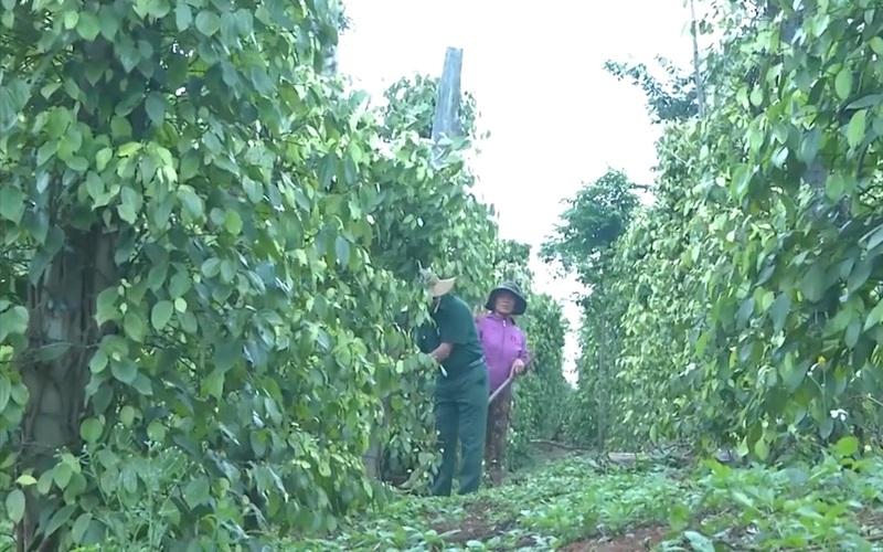 Gia Lai: Người cựu chiến binh làm giàu từ mô hình vườn-ao-chuồng trên đất khó