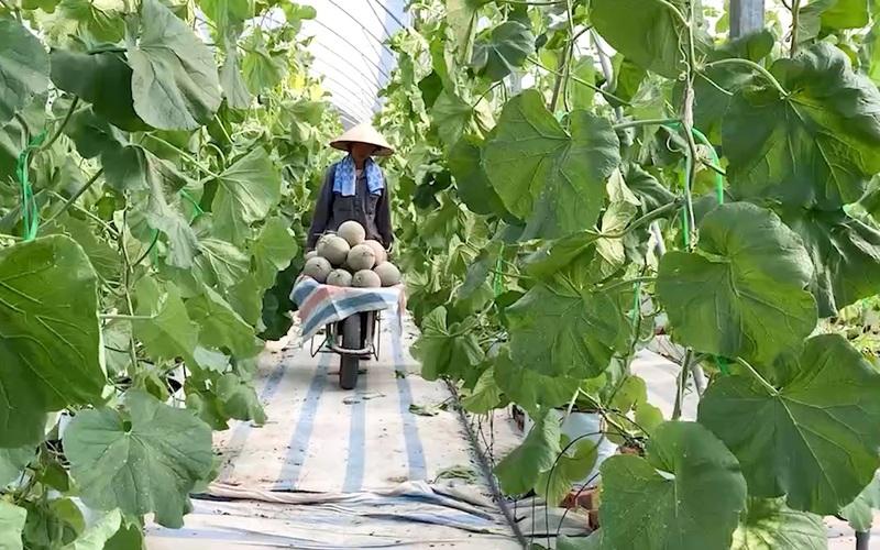 Quảng Ninh: Mô hình trồng các loại dưa lưới công nghệ cao, hướng đi mới của huyện Đầm Hà