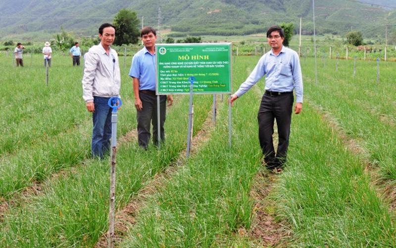 Trồng thứ củ trắng, lá xanh, nhổ lên thơm lừng, nông dân miền núi Bình Định thu hiệu quả bất ngờ