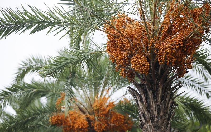 """Thích thú với tán lá """"vương miện"""", cùng quả màu vàng sai chi chít của loài cây chống biến đổi khí hậu"""