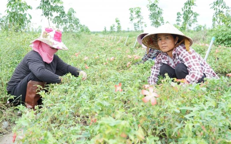 Tây Ninh: Trồng thứ sâm cây thấp tè, hoa rõ đẹp, ra củ to bự, bán đắt tiền