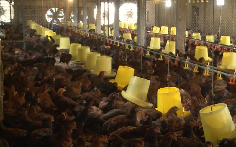 Ứ đọng gà do Covid-19, người chăn nuôi như ngồi trên đống lửa