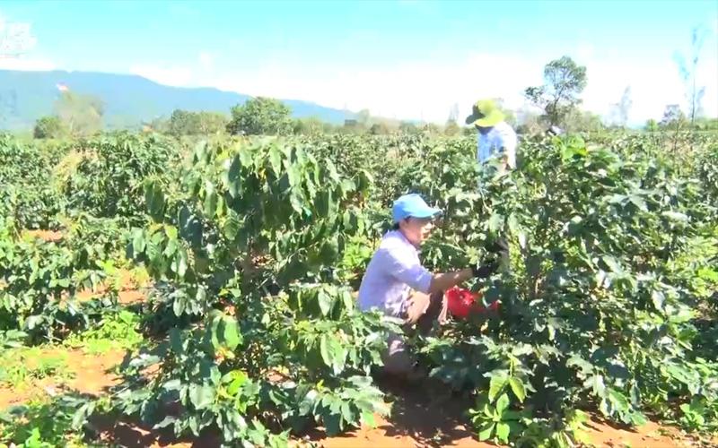 Quảng Trị: Thí điểm trồng thử nhiều giống cà phê mới có triển vọng năng suất, chất lượng cao