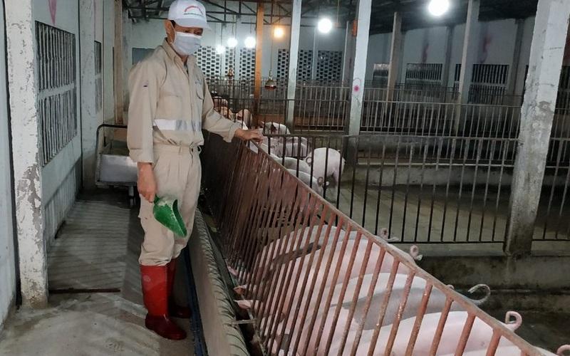 Giá lợn hơi tại Việt Nam giảm sâu, Trung Quốc đối mặt khủng hoảng thừa nguồn cung thịt lợn