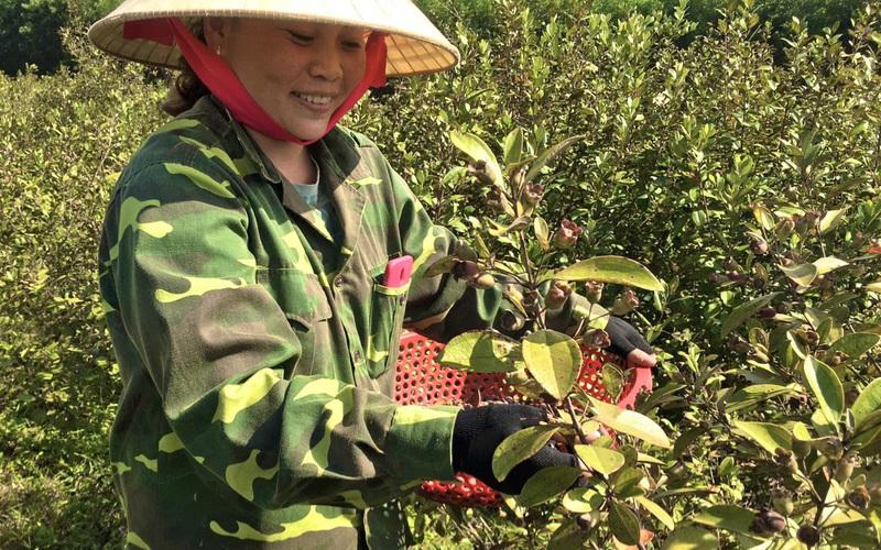 """Quảng Bình: Trồng cây dại, hái trái ngon, nông dân """"đút túi"""" 1 triệu đồng/ngày"""