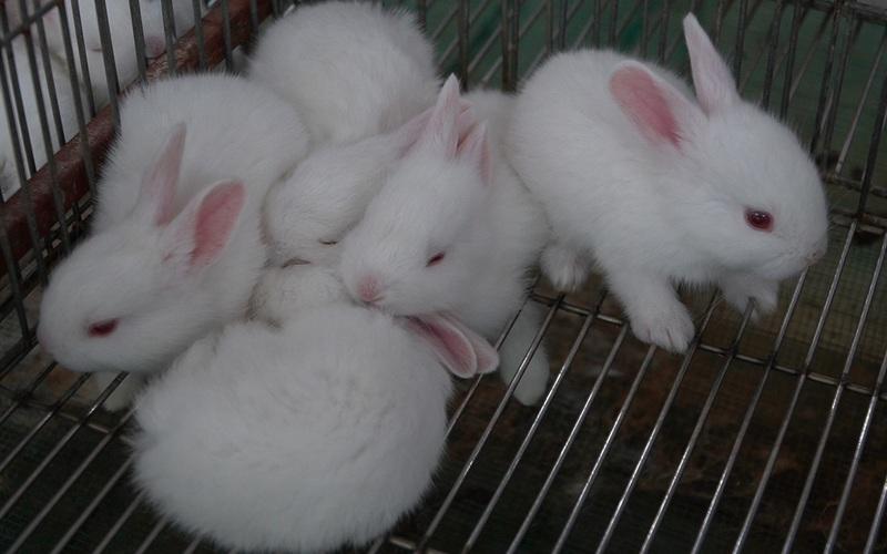 Bí quyết làm chuồng thỏ của triệu phú nuôi thỏ vùng Đan Phượng