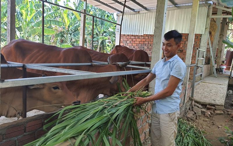 Quảng Nam: Trồng cỏ nuôi bò 3B nhốt chuồng, con nào cũng to bự béo tốt, 9X có của ăn của để