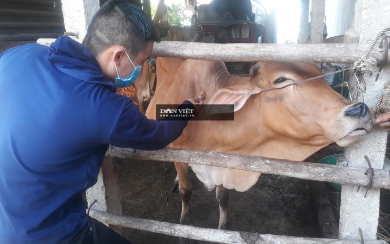 Gần 1.900 con trâu, bò của nông dân Bình Định chết vì bệnh viêm da nổi cục