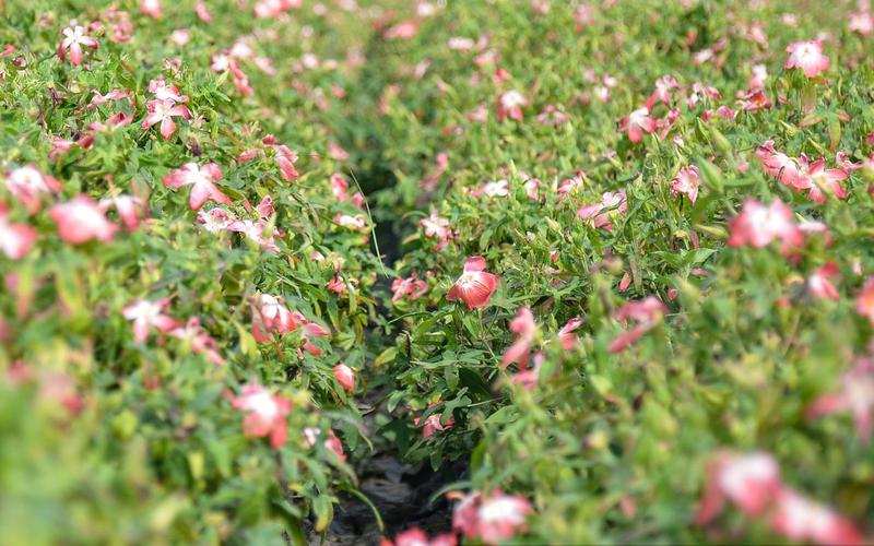 Chiêm ngưỡng vẻ đẹp cánh đồng sâm Bố Chính, loài sâm cho doanh thu mỗi héc-ta hơn 1 tỷ đồng/năm
