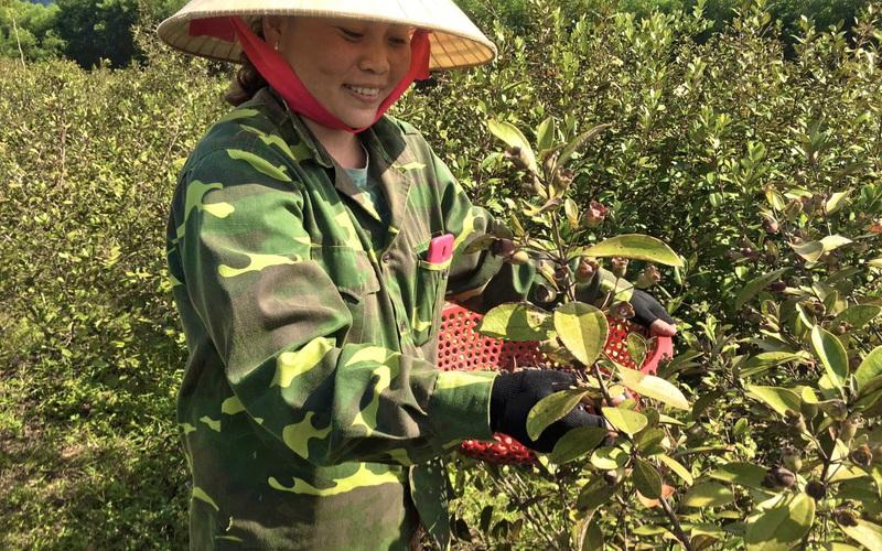 """Video: Nông dân Quảng Bình """"thuần dưỡng"""" cây sim hoang, nhẹ nhàng đút túi cả triệu đồng/ngày"""