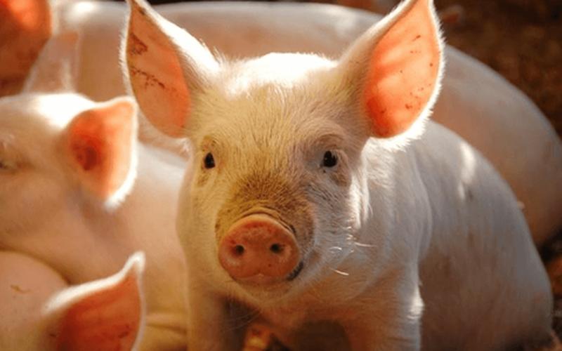Giá thịt heo hơi tăng nhẹ, tại sao người chăn nuôi vẫn lo ngại khi tái đàn?