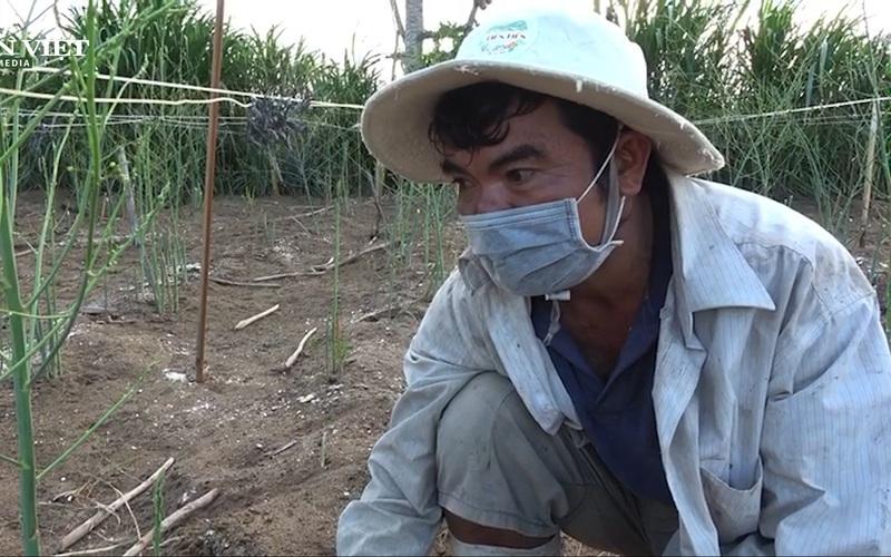 Dịch Covid-19: Nông dân Ninh Thuận chuyển đổi phương thức canh tác măng tây xanh