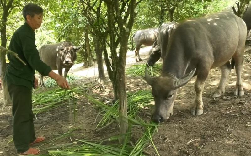 """Lào Cai: Nuôi đủ thứ con đặc sản lợn đen, trâu, bò, ông nông dân người Tày """"bỏ túi"""" 800 triệu đồng/năm"""