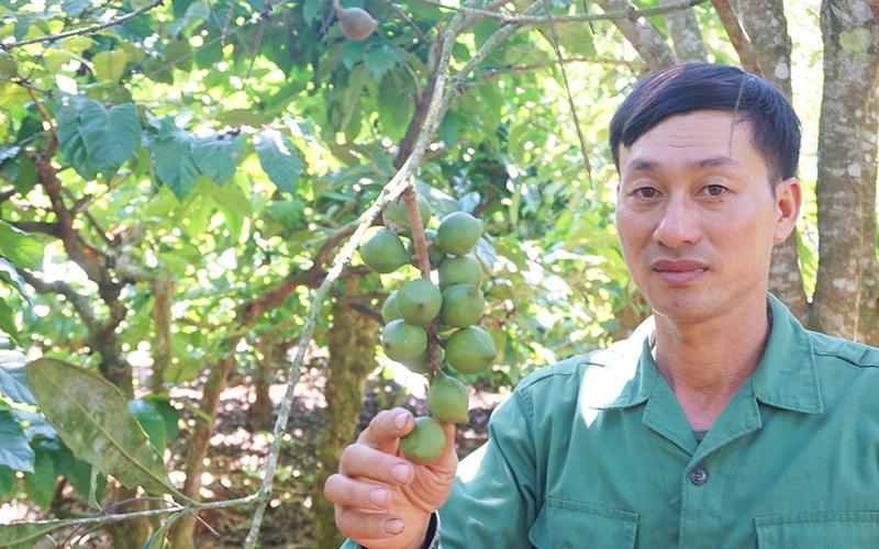 """Gia Lai: """"Cây xóa nghèo"""" thực ra là cây gì mà anh nông dân trồng thập cẩm thu hơn 400 triệu/ha"""