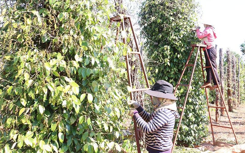 Gia Lai: Vì sao giá tiêu tăng mạnh nhưng đại đa số nông dân trồng hồ tiêu thờ ơ với tin tốt này?
