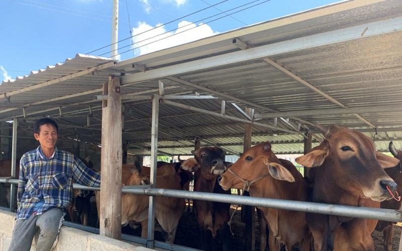 Bình Thuận: Anh nông dân nuôi bò lai 3B đẹp như tranh vẽ nhờ vay vốn từ Quỹ Hỗ trợ nông dân