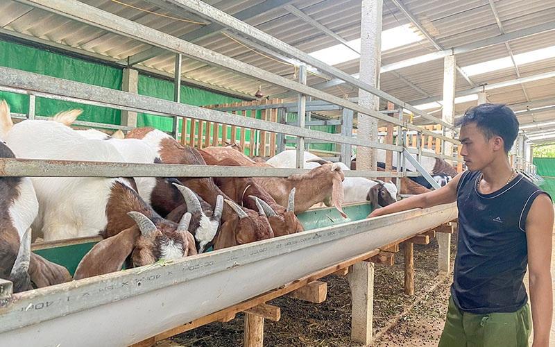 Quảng Trị: Nuôi mấy trăm con dê nhốt chuồng để mỗi năm nông dân 9X này lãi hơn 250 triệu đồng?