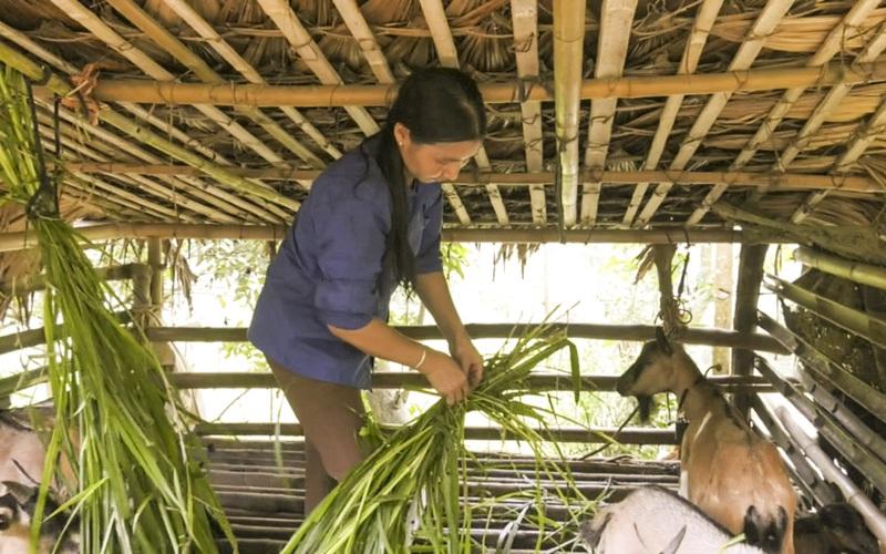 Hội viên vùng cao thoát nghèo từ trồng rừng, nuôi dê