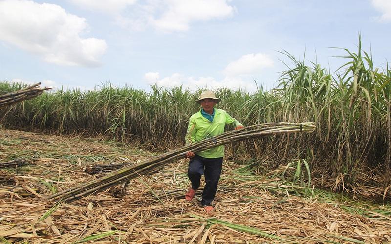 Hậu Giang: Nghịch cảnh mía đến kỳ thu hoạch, người dân không biết bán cho ai