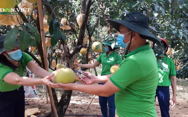 Hội nông dân Hà Tĩnh kết nối tiêu thụ bưởi Phúc Trạch cho nông dân Hương Khê