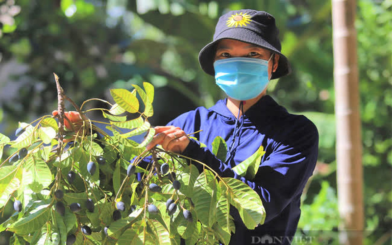 """Nông dân Hà Tĩnh trồng loài cây to như cột đình, quả đen sì giá cao vẫn """"cháy"""" hàng"""