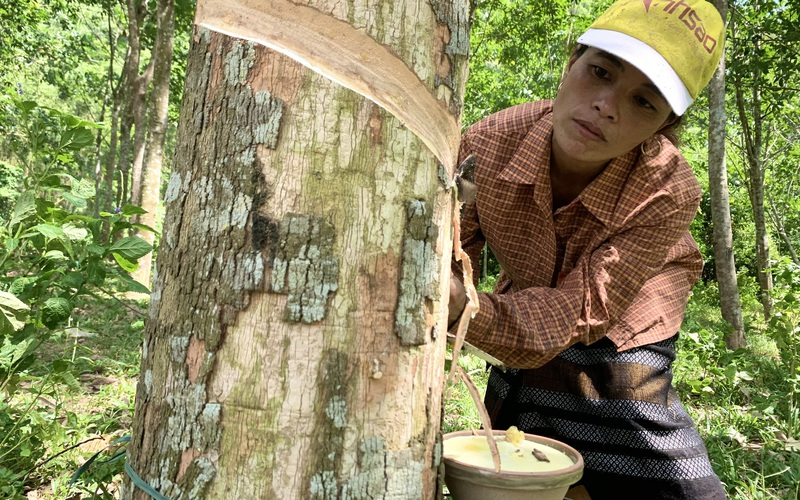 Quảng Bình: Nông dân dân tộc Vân Kiều thoát nghèo nhờ vay vốn nuôi bò, trồng cao su