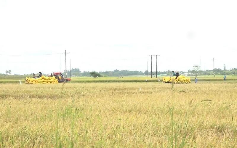 Sóc Trăng áp dụng nhiều biện pháp hỗ trợ tiêu thụ lúa cho nông dân vùng đỏ