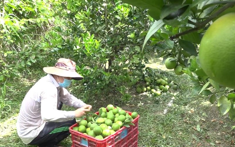 Nông dân Lai Vung phấn khởi vì bán được trái cây có múi với giá tốt