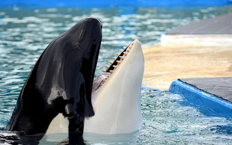 Thiên nhiên diệu kỳ: Cá voi sát thủ đập đầu vào tường vì cô đơn