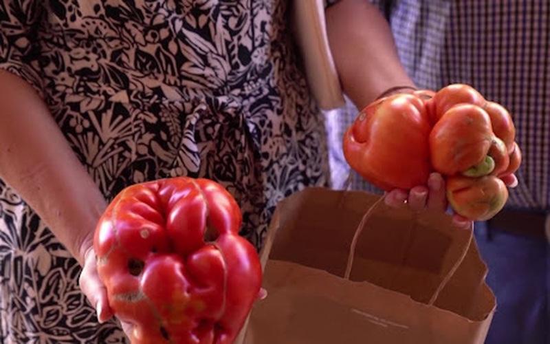 Kỳ lạ cuộc thi tìm quả cà chua xấu nhất ở Tây Ban Nha