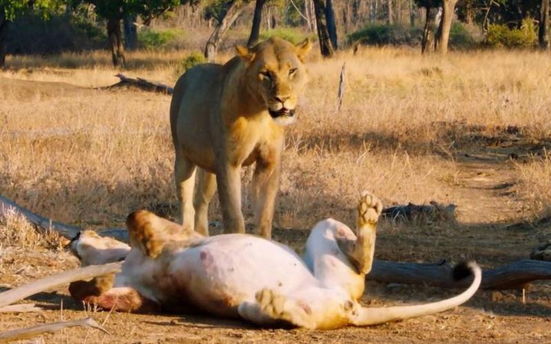 Thiên nhiên diệu kỳ: Nghệ thuật tán tỉnh con đực của sư tử cái