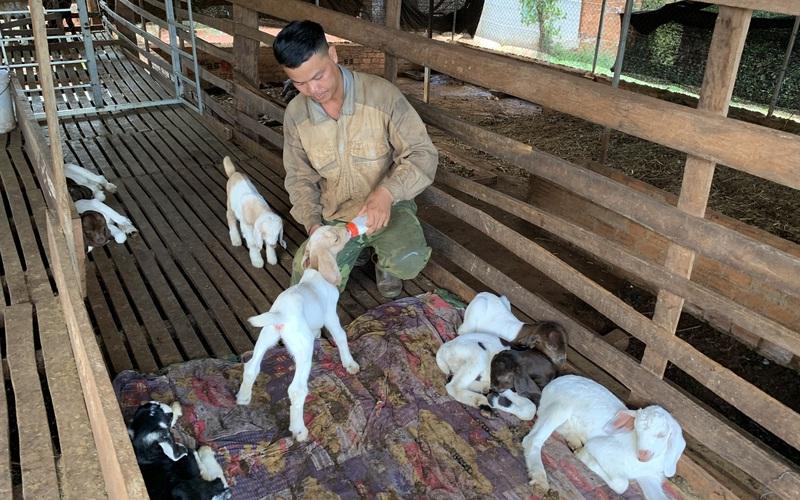 Gia Lai: Kỳ công nuôi dê như chăm em bé, anh nông dân nghèo nhất xã trở thành triệu phú ở Ia Tôr