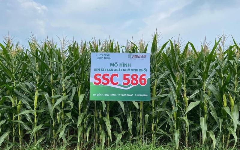 Giống ngô sinh khối SSC 586 có gì đặc biệt mà nông dân Tuyên Quang quyết mở rộng diện tích